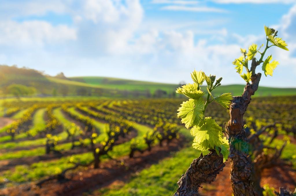 cep vigne châteauneuf-du-pape