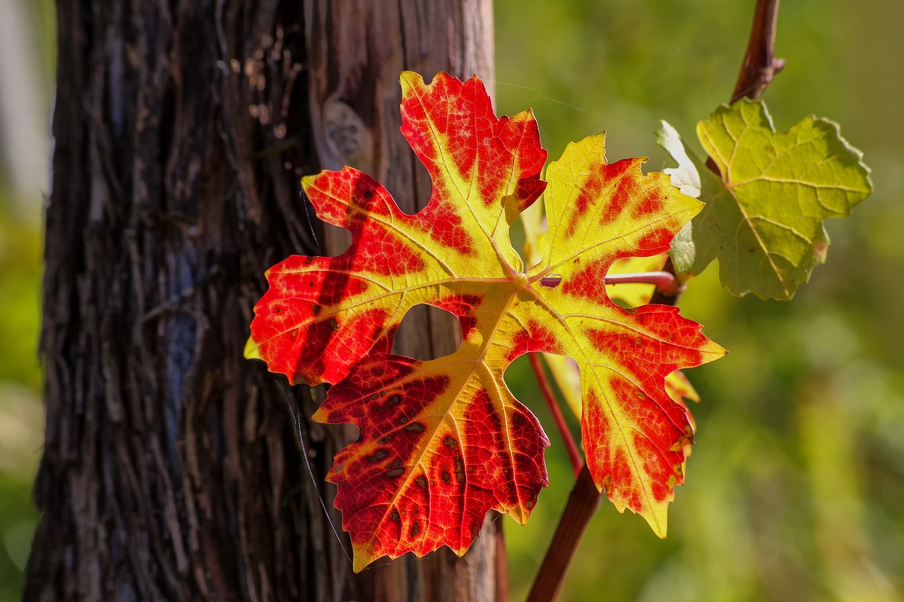 saison cycle vigne