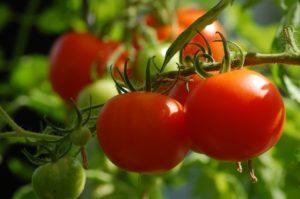 tomate potager été arrosage